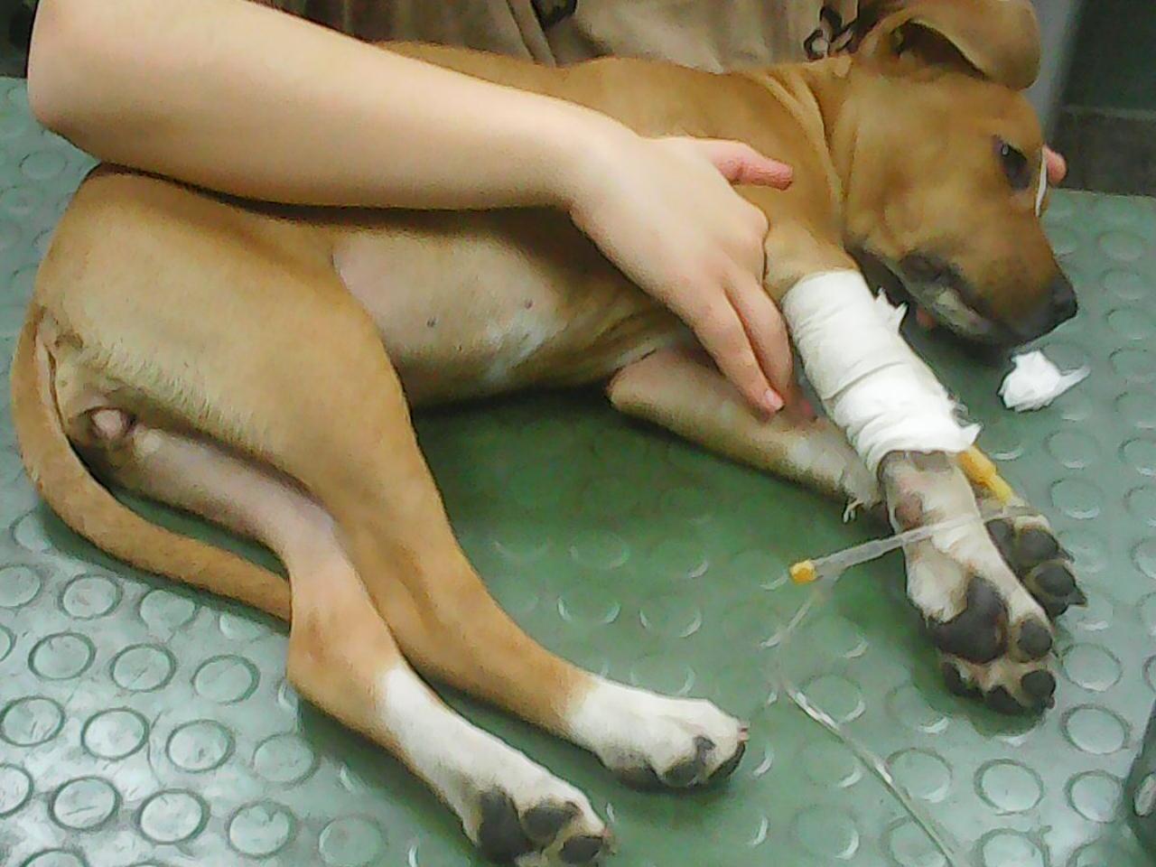 parvoviroza (mačja kuga) kod pasa