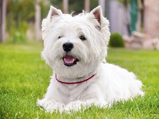 Citološki potvrđen tumor na vratu psa rase westie odstranjen hirurškim putem, veterinarska ambulanta Nikolašev, Savski Venac